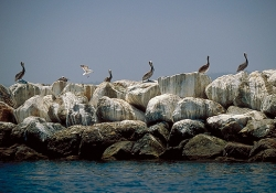 brown-pelicans-on-a-white-wall